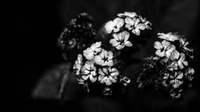 White Flowers BW. Tiny white flowers in black and white Royalty Free Stock Photography