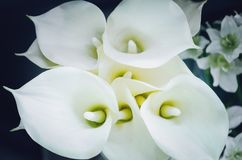 White flowers calla on black background. Closeup, soft focus stock images