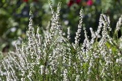 White flowers of calluna vulgaris in the garden. On green background Royalty Free Stock Images