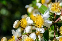 White flowers of Calophyllum inophyllum royalty free stock photography