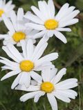 White flowers of a camomile Stock Photos