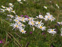 White flowers of a camomile. Group of white flowers of a camomile Royalty Free Stock Image