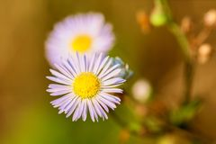 White flowers camomile in the meadow close-up royalty free stock photo