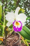 White flowers or cattaleya orchid flowers blooming in the nature royalty free stock image
