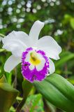 White flowers or cattaleya orchid flowers blooming in the nature. Garden background Stock Images