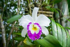 White flowers or cattaleya orchid flowers blooming in the nature Stock Photography