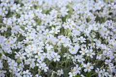 White flowers of Cerastium tomentosum Royalty Free Stock Image