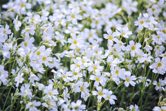 White flowers of Cerastium tomentosum Royalty Free Stock Photo