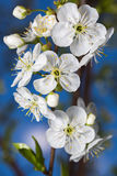 White flowers of cherries close-up Royalty Free Stock Image