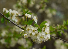 White flowers of a cherry blossom tree bloom Royalty Free Stock Photography