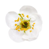 White flowers of cherry blossom  on white Stock Photography