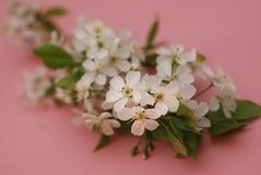 White Flowers Cherry Blossoms Bunch Spring Pink Background Card Greeting Stock Photos
