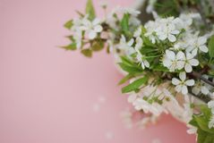 White Flowers Cherry Blossoms Bunch Spring Pink Background Card Greeting Concept Royalty Free Stock Photography