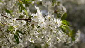 White flowers of the cherry blossoms. Spring. White flowers of the cherry blossoms stock video footage