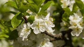 White flowers of the cherry blossoms. Spring. White flowers of the cherry blossoms stock video