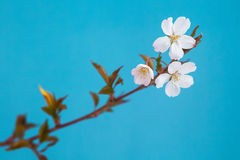 White flowers of the cherry blossoms on a spring day. Stock Image