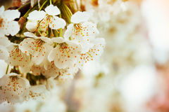 White flowers of the cherry blossoms Stock Images