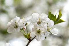 White flowers of the cherry blossoms on a spring day Stock Photography