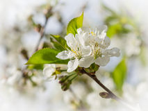 White flowers of the cherry blossoms on a spring day Royalty Free Stock Images
