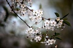 White flowers of the cherry blossoms Royalty Free Stock Images