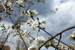 White flowers of the cherry blossoms on a spring day in the park Royalty Free Stock Photography