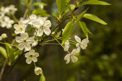 White  flowers of the cherry blossoms on a spring day Stock Images