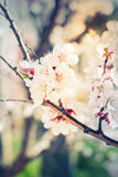 White Flowers of Cherry on a Branch Royalty Free Stock Image