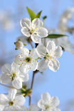 White flowers. Cherry flower bloom in sunny spring day stock image