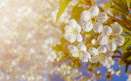 White flowers of cherry. White flowers of cherry on a white-green blurred background Stock Photo
