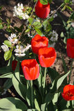White flowers of cherry and red tulips. Spring garden. White flowers of cherry and red tulips. Close up stock photo