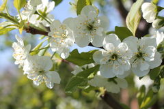 White flowers of cherry spring photo Stock Photography