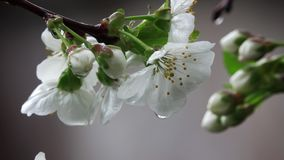 White flowers of the cherry tree. Close-up stock footage