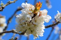 Flowers of cherry tree Royalty Free Stock Photography