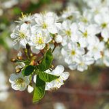 White flowers on cherry tree sprig close up Royalty Free Stock Photography