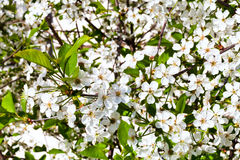 White flowers of cherry tree Stock Image
