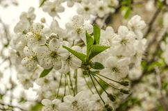 White flowers of cherry and young leaves Stock Photos