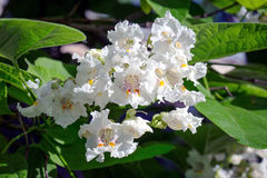 White flowers of chestnut. White chestnut flowers on green branches royalty free stock images