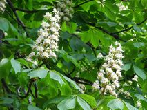 White flowers on chestnut-tree Royalty Free Stock Image