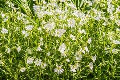White flowers chickweed, macro Stock Photo