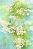 White flowers cilantro, tinted. Small white flowers cilantro, spring bloom,tinted Stock Image