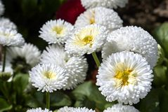 Bellis perennis flowers. White flowers close up of Bellis perennis Stock Photo