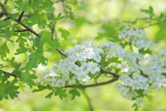 May blossom. Close up of may flowers on a branch with fresh green leaves Royalty Free Stock Images