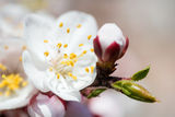White flowers close-up photo. Flowers: white blooming apple tree branch, close-up photo, natural blurred background Royalty Free Stock Photography