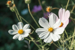 White flowers. Royalty Free Stock Image