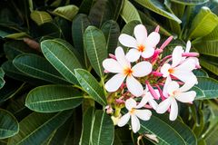 White Flowers Closeup Flowering trees.  Stock Images