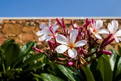White Flowers Closeup Flowering trees.  Royalty Free Stock Photo