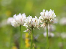 White flowers of a clover Royalty Free Stock Image
