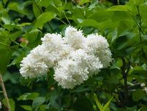 White flowers on Common lilac or Syringa vulgaris macro, selective focus, shallow DOF.  Royalty Free Stock Photos