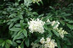 White flowers of privet in late spring. White flowers of common privet  in late spring stock images