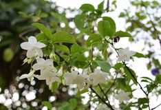 White Flowers. Cork Tree  Flowers in the garden Stock Photos